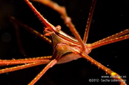 20120226 1027 - enelmar.es - Cangrejo araña (Stenorhynchus lanceolatus), Las Eras