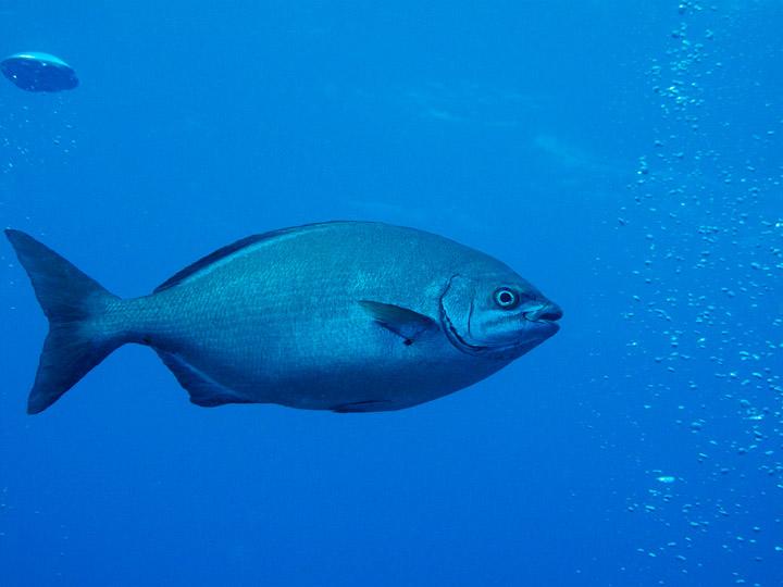 20110212 1103 - enelmar.es - Chopón o Chopa perezosa (Hyphosus sectator), El Bajón
