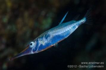 20120412 2234 - enelmar.es - Sacha Lobenstein, Trompetero (Macroramphosus scolopax)