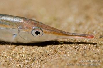 20120412 2251 - enelmar.es - Sacha Lobenstein, Trompetero (Macroramphosus scolopax)