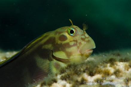 20120603 1329 - enelmar.es - Bariguda Mora (Ophioblennius atlanticus atlanticus), Sacha Lobenstein, Teno