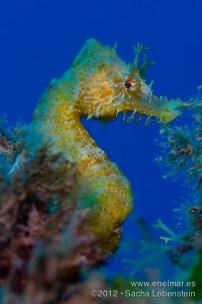 20120710 1731 - enelmar.es - Caballito de mar (Hippocampus hippocampus), Radazul