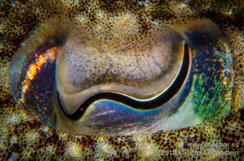 20120713 1732 - enelmar.es - Choco (Sepia officinalis), Teno