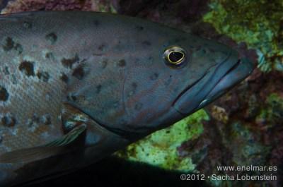 20120714 1856 - enelmar.es - Abade (Mycteroperca fusca), Muelle de Garachico