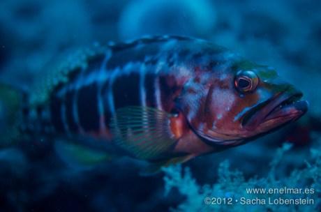 20120717 1603 - enelmar.es - Cabrilla negra (Serranus atricauda), Punta Prieta