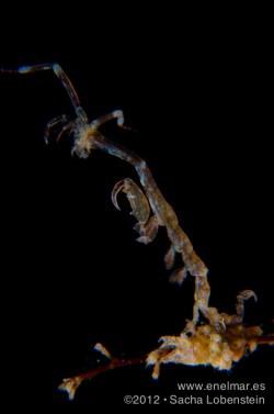 20120805 1014 - enelmar.es - Camarón fantasma (Pseudoprotella phasma), Radazul