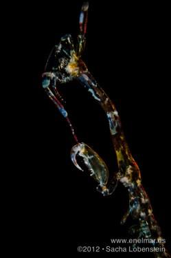 20120805 1016 - enelmar.es - Camarón fantasma (Pseudoprotella phasma), Radazul