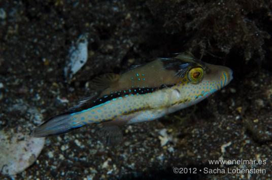 20120805 1335 - enelmar.es - Gallinita (Canthigaster capistrata), Radazul