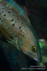 20120810 2029 - enelmar.es - Abade (Mycteroperca fusca), Muelle de Garachico