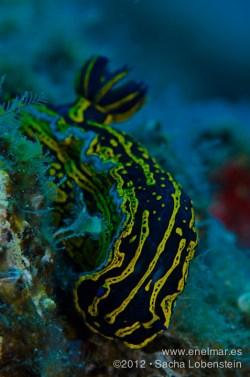 20120815 1148 - enelmar.es - Babosa de mar - Nudibranquio (Hypselodoris picta webbi), Las Eras