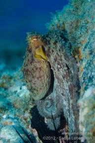 20120818 1339 - enelmar.es - Los Chuchos, Pulpo (Octopus vulgaris)