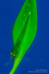 20121223 1148 - enelmar.es - chupasangre de seba (Opeatogenys cadenati), Muelle de El Porís de Abona, Sacha Lobenstein