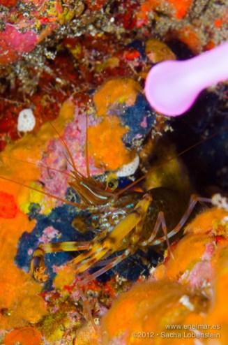 20121230 1206 - enelmar.es - Camarón de bandas marrones (Brachycarpus biunguiculatus), El Tablado