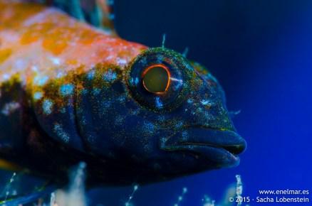 20150626-1052-SachaLobenstein-enelmar.es-cabecinegro (Tripterygion delaisi), Playa Chica < Puerto del Carmen