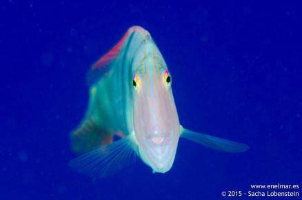 20150626-1212-SachaLobenstein-enelmar.es-Pejepeine (Xyrichthys novacula), Playa Chica < Puerto del Carmen
