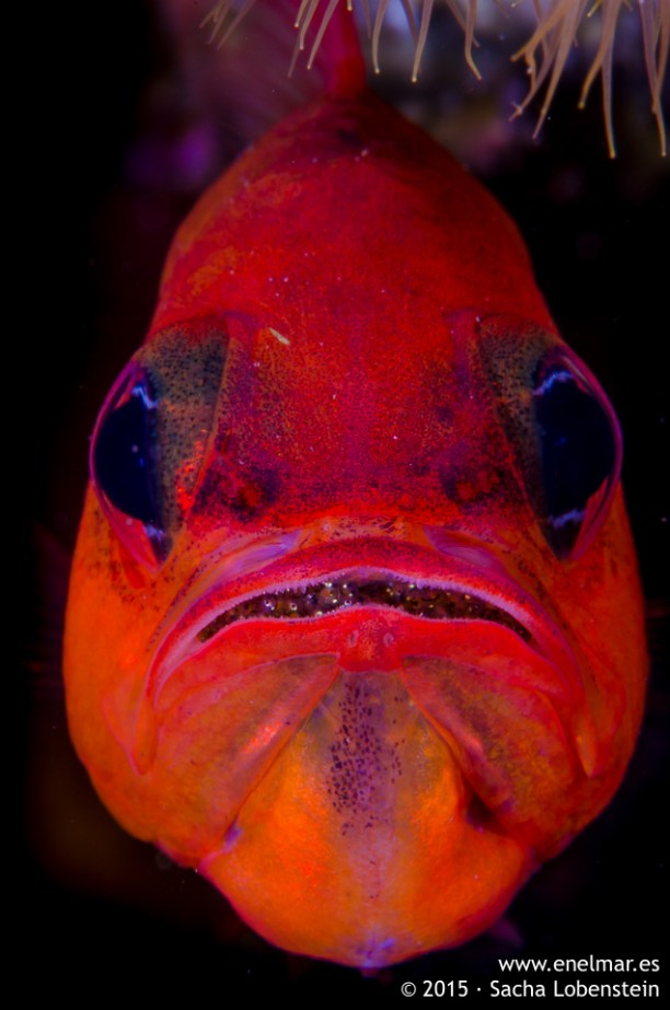 20150628-1207-SachaLobenstein-enelmar.es-alfonsito (Apogon imberbis), Playa Chica < Puerto del Carmen