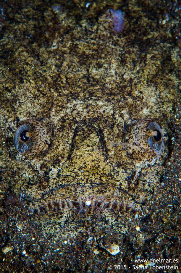 20150516-1028-SachaLobenstein-enelmar.es-Pejesapo o Pez rata (Uranoscopus scaber), Radazul