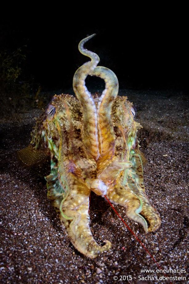 20150806-2211-SachaLobenstein-enelmar.es-Choco (Sepia officinalis), Playa de Las Teresitas