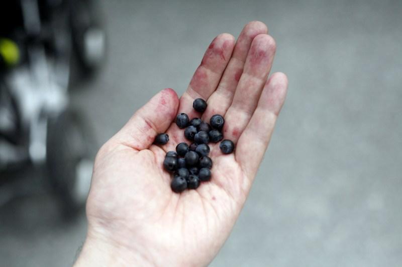 blåbär i hand