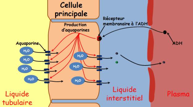 cellule grain