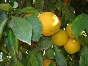 mini fruitier