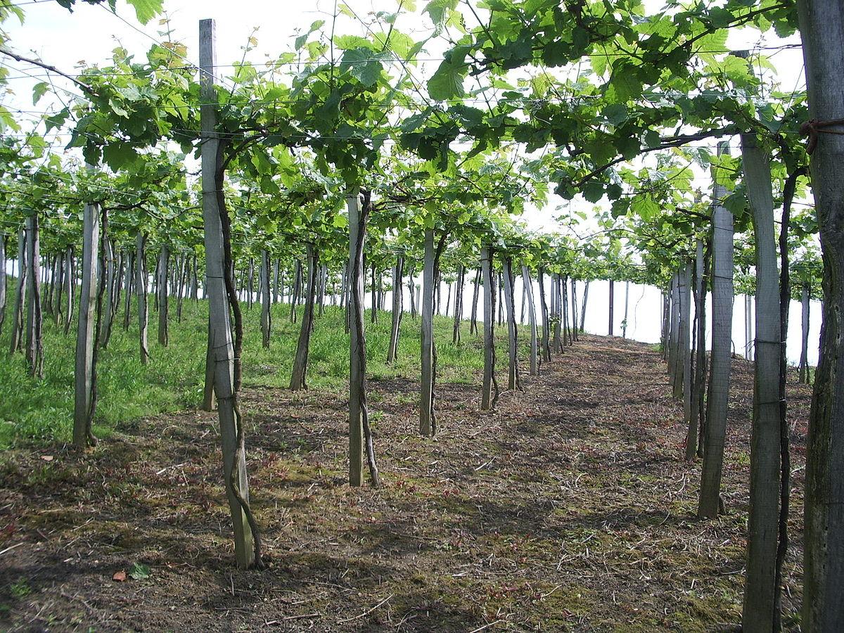 vigne grimpante pour pergola