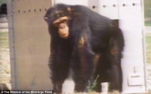 09a - Šimpanzi poznali svou pečovatelku po 25 letech