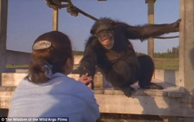ch01 - Šimpanzi poznali svou pečovatelku po 25 letech
