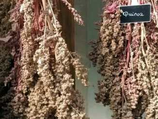 6a6111dee9eaceac98238ce43b634d3c - Quinoa vám může zachránit život, tvrdí Harvard