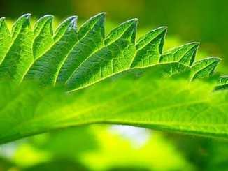 2994e75edfcb9e87edfeae552a071acf - Úlevu od alergií poskytne třeba kopřiva