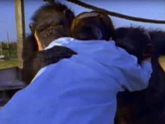 37ce71636939a5fae8b835c96e7ec0df - Šimpanzi poznali svou pečovatelku po 25 letech