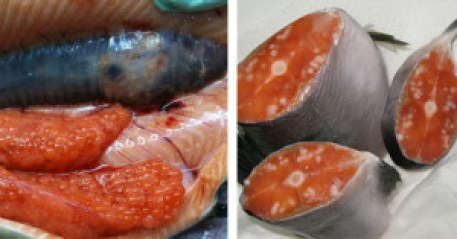 deforemed salmon meat