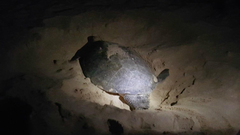 Se en havskildpadde lægge æg i Oman