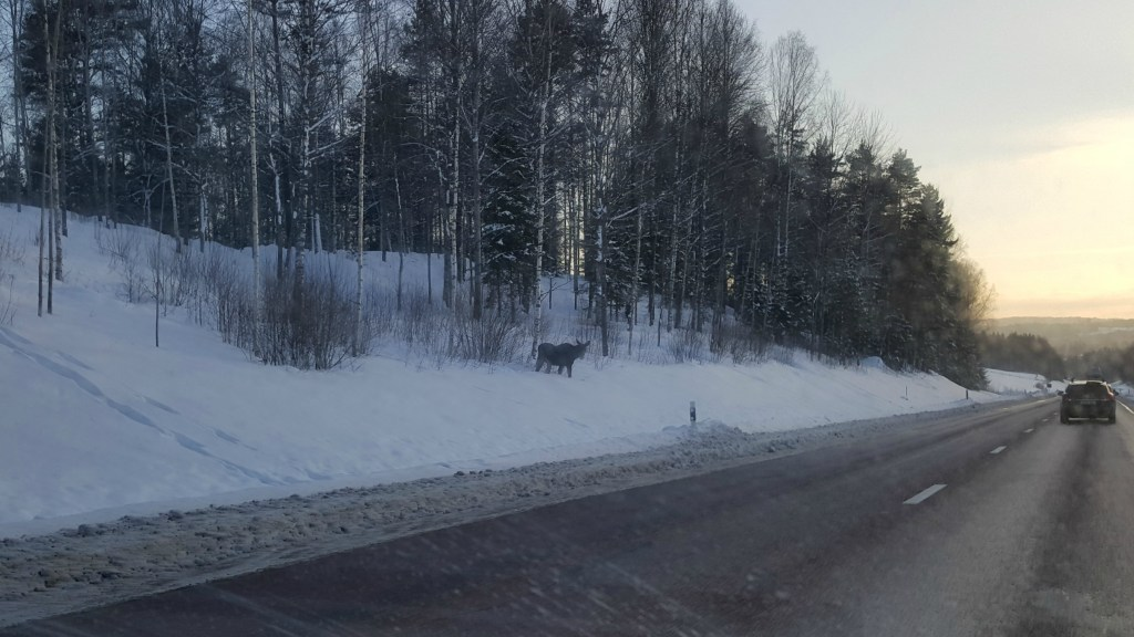 Moose on the road in Sweden