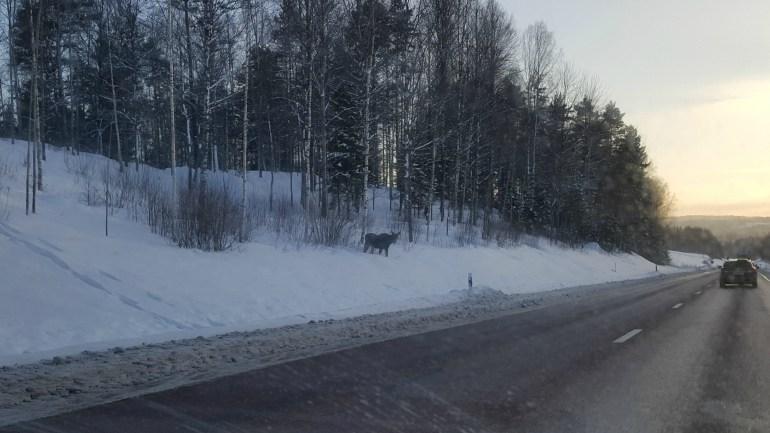 Moose on the road in Sweden
