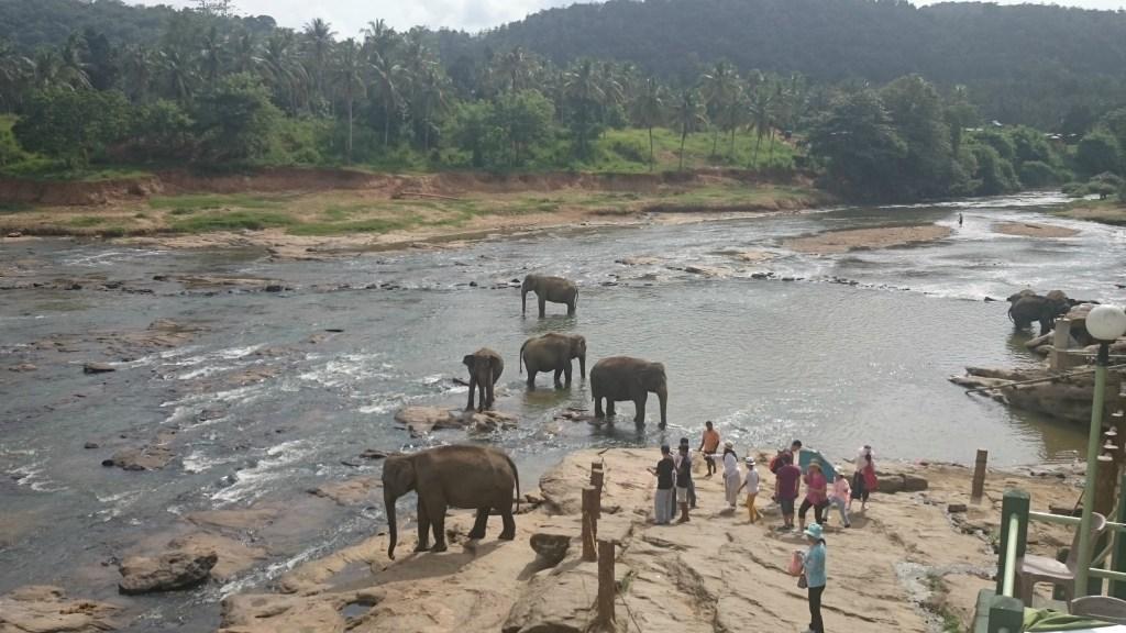 Pinnawala_Elephant_Orphanage_4