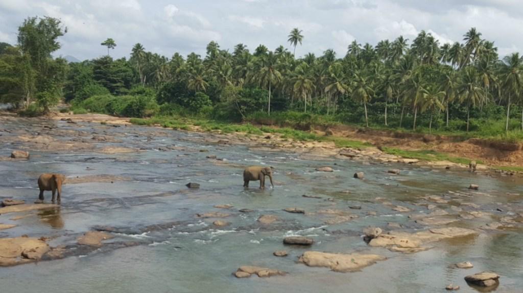 Elefanter_Sri_Lanka_2
