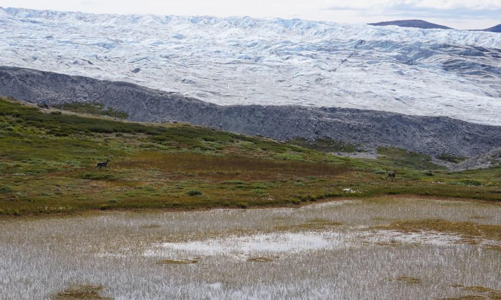 Groenland_Rensdyr
