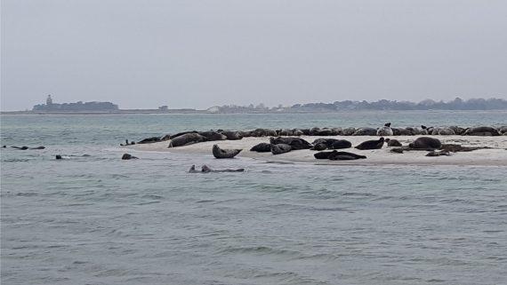 Sæler ved Falsterbo 1