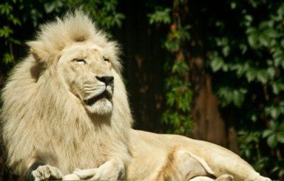 lion-d'Afrique-du-Sud-au-zoo-de-Bratislava