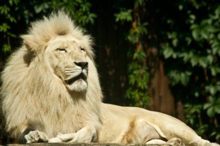 lion-dAfrique-du-Sud-au-zoo-de-Bratislava