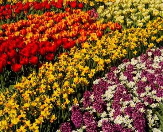 jardin-keukenhof-hollande