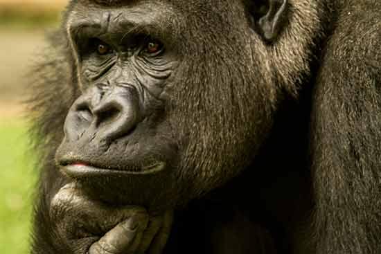 gorille-zoo-de--saint-martin-la-plaine