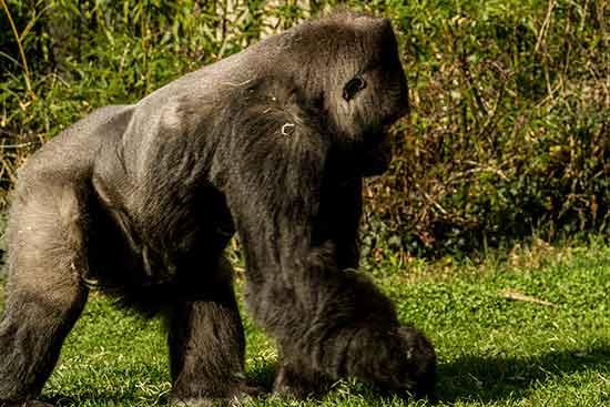 gorille-zoo-saint-martin