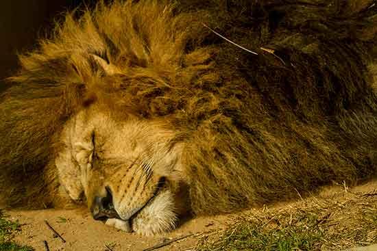 lion-zoo-saint-martin-la-plaine