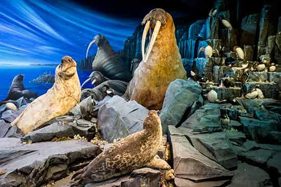 museum-de-genève-animaux-polaires