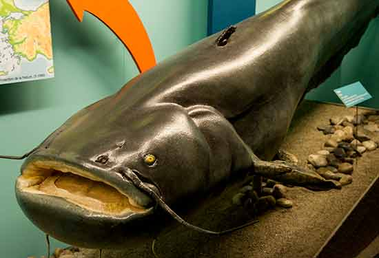 museum-genève-poisson