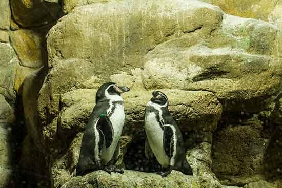 Aquarium-barcelone-manchots