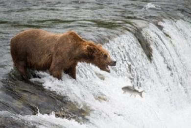 katmai-ours en-alaska-poisson