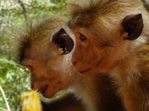 sri-lanka-singes en gros plan